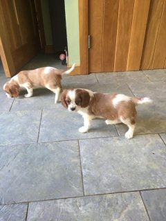 Cavalier king Charles puppies available for sale