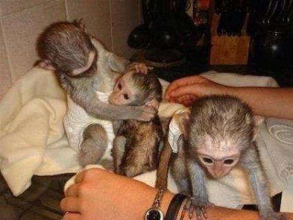 أصح كابوشين بيبي القرد المتاحة ، ثمانية عشر أسابيع