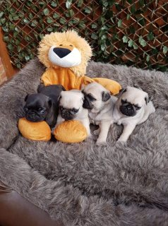 Outstanding Pug Puppies Pde Clear
