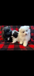 صور Pomeranians puppies 1