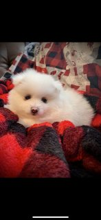 صور Pomeranians puppies 3