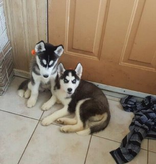 Straight Siberian husky puppies