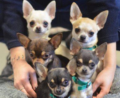SHIWAWA DOGS
