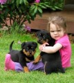 Gorgeous teacup rottweiler puppies for free adopti