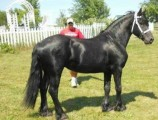 Gorgeous Friesian Horse for Rehoming