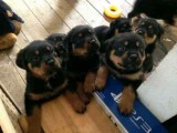 Quality Litter home bred Rottweiler puppies from e