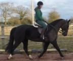 Smart & Brilliant Horse Frisian  (Male and Female)