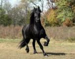 Beautiful and intelligent Frisian horses