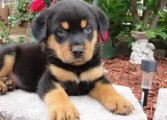 Rottweiler Puppies For Adoption to any loving home