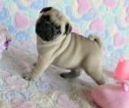 Akc Gorgeous Pug puppies ready