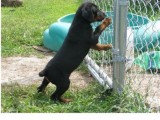 Sweat And Good Looking Doberman Pinscher Puppies F