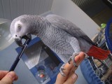 Talking Africa Grey Parrots