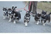 Male and Female Siberian Husky Puppies ready for a