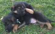 We offer lovely male and female German Shepherd Do
