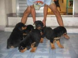 I have lovely male and female rottweiler puppies r