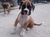 Boxer Puppies From Heart Tested Parents