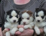 Two Adorable CKC Female Siberian Husky Puppies For