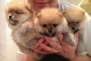 Handsome Miniature Teacup Pomeranian Puppy Boy 1 L