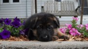 German Shepherd puppies for Adoption .great lo