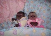 capuchin baby monkeys raised in our home for adopt