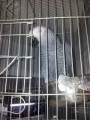 lovely African Grey parrots for adoptio