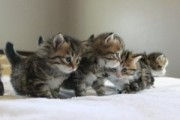 cute Siberian kittens ready for sale EMAIL[melleyg