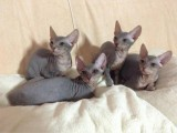Cute Sphynx Kittens for new homes now