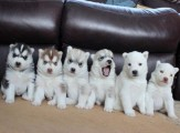 Siberian Husky puppies males and females for sale.