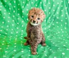 Home Cheetah available for good homes