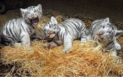 Friendly Tiger Cubs available for good homes.